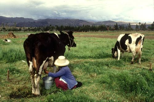 Livestock - FAO