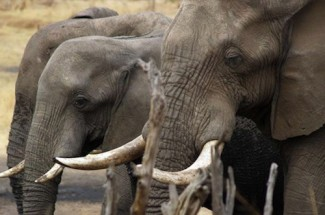 Elephants - UNESCO