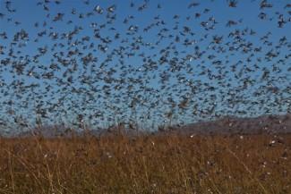 Locust-madagascar - FAO