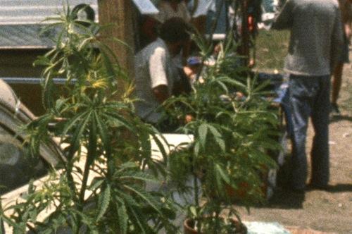 Μarijuana plant - UN