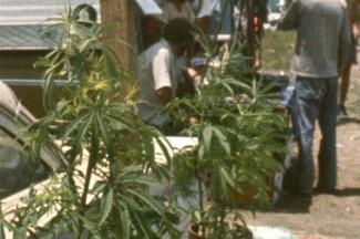 un cannabis afghanistan